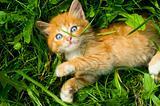 little grimy red kitten lies in the grass