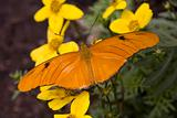 Bright Orange Julia Butterfly on Yellow Flowers