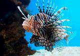 Turkey Fish or 'Pterois Volitans'