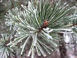 Rimed pine tree.
