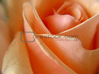 A single peach rose macro