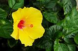 Yellow Malvaceae Hibiscus Flower