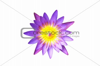 Isolated Purple Water Lilt Lotus