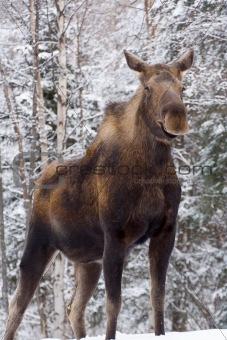 Alaskan Mama Moose