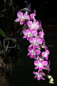 Beauty pink orchid