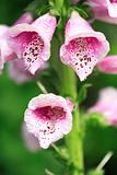 Pink Foxglove after the rain Revised