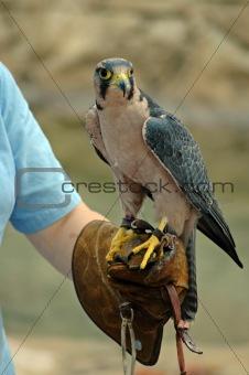 Falcon Handler.