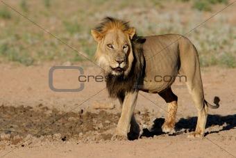Black-maned African lion