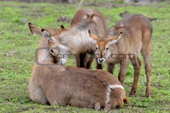 Waterbuck family