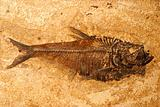 Fish fossil