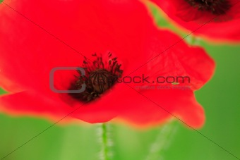 Abstract poppy