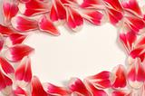 tulips petals frame
