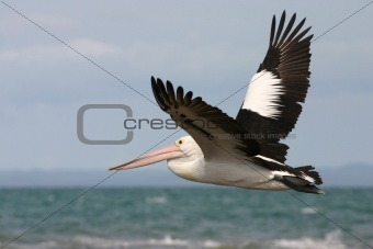 Australian pelican flying