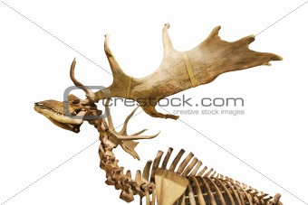 skeleton of fossil deer