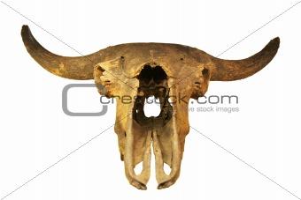 skeleton of fossil bull