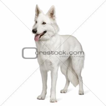 White Swiss Shepherd Dog (10 months)