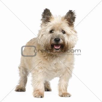 Cairn Terrier (12 years)