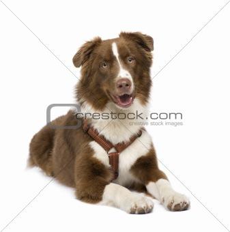 australian shepherd (18 months)