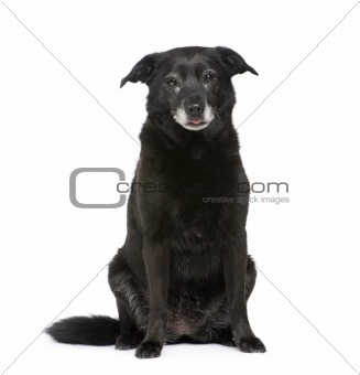 Old Mixed-Breed Dog with a labrador