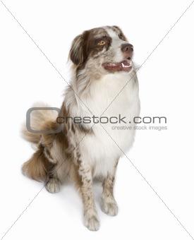 australian shepherd (11 months)