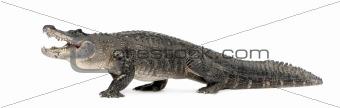 American Alligator (30 years) - Alligator mississippiensis