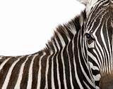 Zebra - 4 years