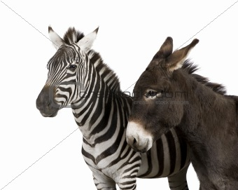 a Zebra (4 years) and a donkey (4 years)