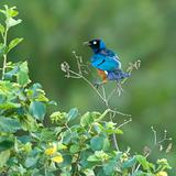Superb starling - Lamprotornis superbus in the Serengeti
