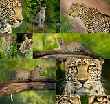 composition of ten photos of a Leopard in the Serengeti national