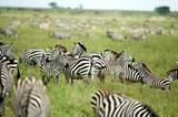 herd of zebras in the serengeti plain