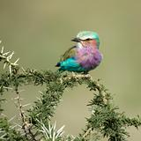 Lilac-breasted Roller in the serengeti, tanzania