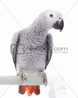 African Grey Parrot