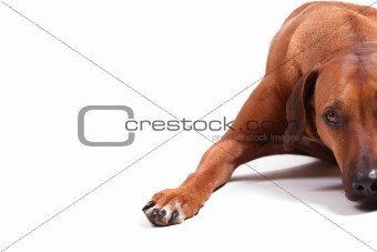 right half of rhodesian ridgeback
