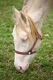 Detail of head of albino horse