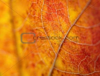 Beautiful autumn  leaf macro