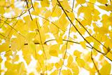 Yellow alder leaves