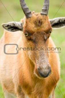 african antelope closeup