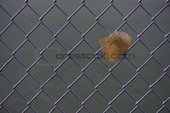 chainlink fence with a dry leaf