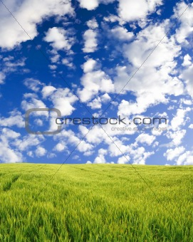 Beautiful wheat field under blue sky