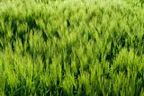 Beautiful wheat field detail