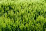 Beautiful wheat field detail
