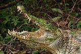 gambian crocodile