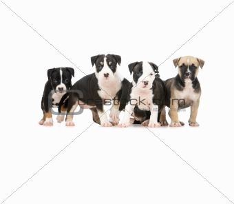 Isolated puppies playing on white
