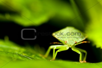 Green shield bug. Palomena prasina