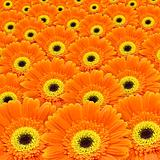 orange gerbers