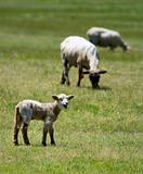 Baby sheep in a field