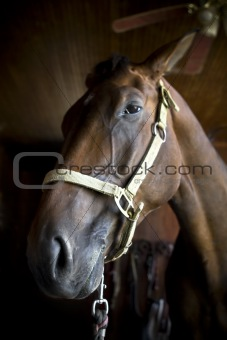 Bay horse close up head shot