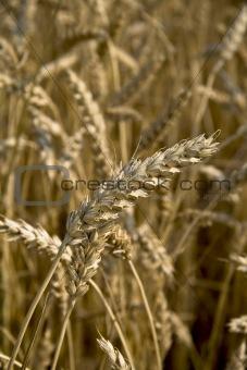 Close up piece of wheat