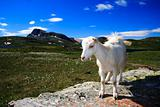 Young Goat in Norway