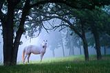 Beautiful White Horse in the Morning Mist